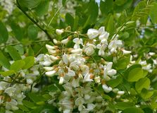 White flowers Robinia pseudoacacia. L. black locust Royalty Free Stock Photography