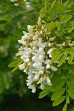 White flowers Robinia pseudoacacia. L. black locust Royalty Free Stock Photos