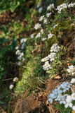 White flowers on a rocky slope, close-up Royalty Free Stock Images