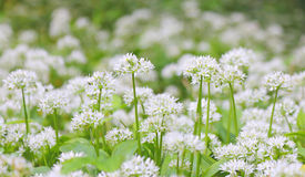 Wild garlic flowers Stock Photo