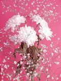 White flowers on rosy background Royalty Free Stock Images