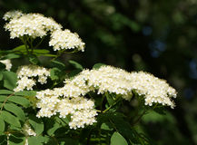 White flowers rowan Royalty Free Stock Photo