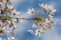 White flowers sakura spring blossoms stock image