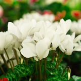 White Flowers (selective focus). White flowers with water drops (selective focus Stock Photos