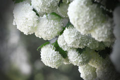 White flowers. Shrub with white clusters of white flowers Royalty Free Stock Photos