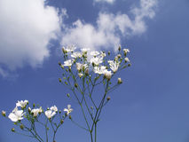 White Flowers on the Sky. White Flowers and Blue Sky - Close-up,  and Blue Sky Background with Clouds Stock Photos