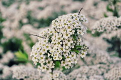 White flowers. White small flowers in Moscow Royalty Free Stock Photo
