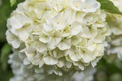 White flowers, Royalty Free Stock Photo