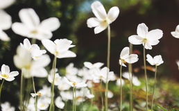 White flowers of the snowdrop anemone sylvestris, close up, retro tinted Royalty Free Stock Image