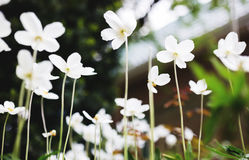 White flowers of the snowdrop anemone sylvestris, close up, retro tinted Royalty Free Stock Photography