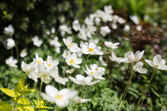 White flowers of the snowdrop anemone sylvestris, close up, retro tinted. Royalty Free Stock Photography