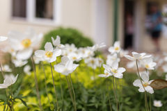 White flowers of the snowdrop anemone sylvestris in home garden, close up Stock Photography