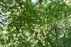 White flowers of Sophora japonica. In summer stock photos