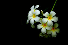 White flowers of Southeast Asia. Ornamental white flower bouquet is a bunch of fragrant flowers Laos Stock Images