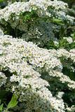 White flowers of spiraea Royalty Free Stock Photos