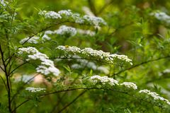 White flowers spirea branch for Wallpaper design. Background texture. White background design. Flower decorations. Festive stock image