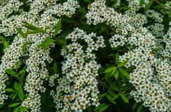 White flowers of Spirea in the park. Spirea bush covered with flowers stock images
