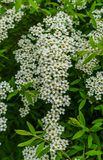 White flowers of Spirea in the park. Spirea bush covered with flowers royalty free stock photo