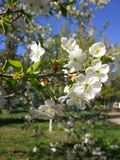 White flowers, spring apricots in spring royalty free stock photo