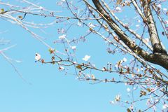 White flowers  in spring. Royalty Free Stock Image