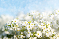 White Flowers - Spring Blooming - Arabis caucasica Royalty Free Stock Images