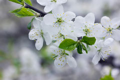 White flowers on a spring branch stock image