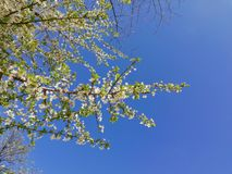 White flowers in spring,branch of a tree in spring royalty free stock photography