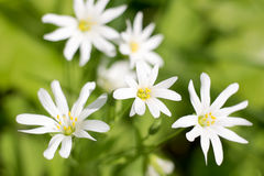 White flowers on a spring meadow Royalty Free Stock Image