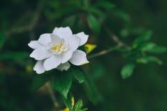 Beautiful white gardenias, evergreen shrubs royalty free stock image