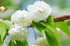 White flowers in spring Stock Images