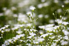 White flowers of Stellaria holostea Royalty Free Stock Images