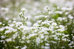 White flowers of Stellaria holostea Royalty Free Stock Photography
