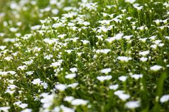 White flowers of Stellaria holostea Stock Images