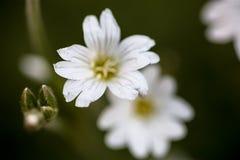 White flowers of Stellaria (stitchwort or chickweed) Royalty Free Stock Photos
