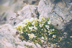 White Flowers on stones growing in mountains Stock Images