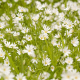 White flowers in a summer green field. Stellaria white wonderful delicate flowers in a summer green field royalty free stock photography