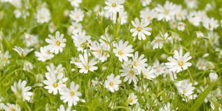 White flowers in a summer green field. Stellaria white wonderful delicate flowers in a summer green field royalty free stock photos