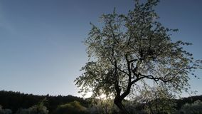 White flowers, sun on a apple blossom, apple blossom on a sunset. stock video