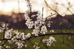 White flowers with sunset stock photo