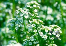 White flowers Sweet Alyssum (Lobularia maritima) Royalty Free Stock Photo