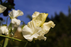 White flowers of Sweet Pea. Royalty Free Stock Images