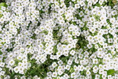 White flowers sweet william. White flowers sweet-william field Stock Photo