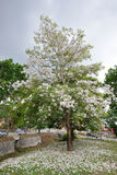 White flowers Tabebuia rosea blossom Royalty Free Stock Photography