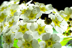 White flowers textures Royalty Free Stock Photography