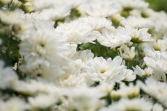 White flowers. In thai farm Royalty Free Stock Photos
