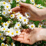 White flowers in their hands Royalty Free Stock Photography