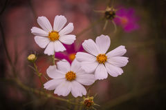 White flowers. Three white flowers from Romania Royalty Free Stock Image