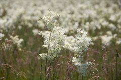 White flowers on to the meadow Royalty Free Stock Images