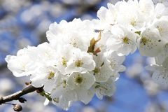 White flowers tree. Beautiful white flowers tree- detail Stock Photos