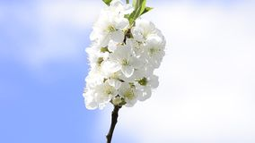 White flowers on a tree against blue bright sky Stock Photo